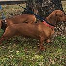 Adopt A Pet :: Abby and Luigi BONDED