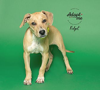 Adopt A Pet :: Fidget  - Houston, TX