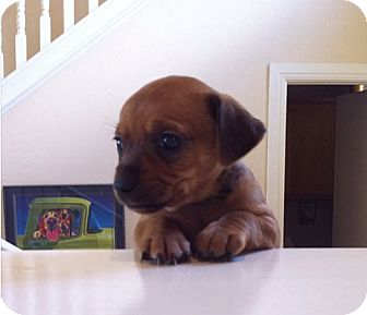 Terrier (Unknown Type, Small) Mix Puppy for adoption in Austin, Texas - Beatrix