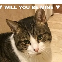 Domestic Shorthair Cat for adoption in New York, New York - BARCLAY-Just Stunning&Loving