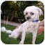 Photo 1 - Lhasa Apso/Poodle (Miniature) Mix Dog for adoption in Van Nuys, California - Gus