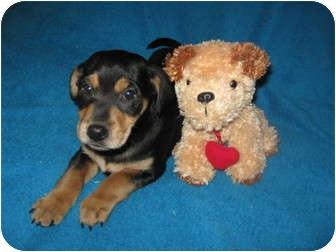 Wauseon Oh Miniature Pinscher Meet Duke A Pet For Adoption