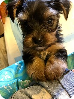 Yorkie, Yorkshire Terrier Mix Puppy for adoption in Ft. Lauderdale, Florida - Chad