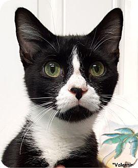 Domestic Shorthair Cat for adoption in Key Largo, Florida - Valentino