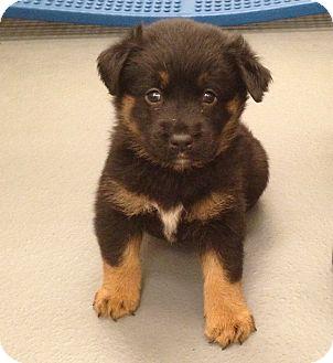 Chicago Il Golden Retriever Meet Annabel A Pet For Adoption