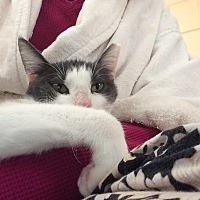 Domestic Shorthair Cat for adoption in Seguin, Texas - Zoe