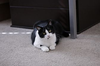 American Shorthair Cat for adoption in Denver, Colorado - JiangBei
