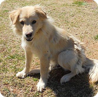 lagrange ga golden retriever meet golda a pet for adoption