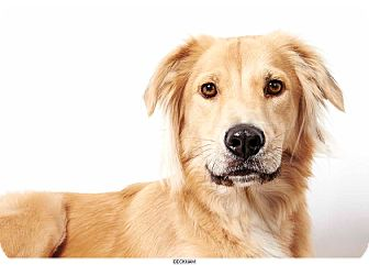 Golden Retriever Mix Dog for adoption in New York, New York - Beckham