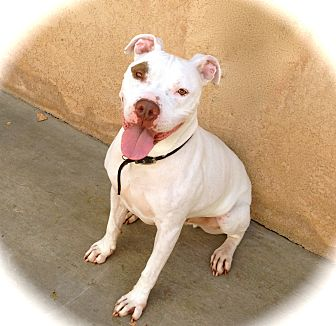 American Staffordshire Terrier/American Pit Bull Terrier Mix Dog for adoption in Burbank, California - Handsome Blanco