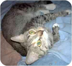 Domestic Shorthair Cat for adoption in Statesville, North Carolina - Sassy