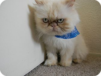 Himalayan kittens for sale orange county ca