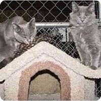 Adopt A Pet :: Grey Beauty and Grey Blossom - Strathmore, AB