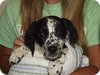 Spaniel (Unknown Type) Mix Puppy for adoption in Marshall, Texas - Winston