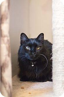 Domestic Longhair Cat for adoption in Greensboro, Georgia - Sasha