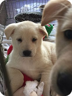 Labrador Retriever/German Shepherd Dog Mix Puppy for adoption in Studio City, California - Tonka