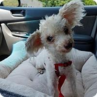 Adopt A Pet :: Buttercup: Little Ballarina PA - Madison, WI