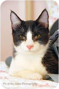 Domestic Shorthair Cat for adoption in Scottsdale, Arizona - Tango