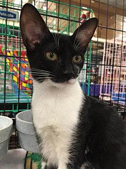 Domestic Shorthair Kitten for adoption in Boynton Beach, Florida - Nora