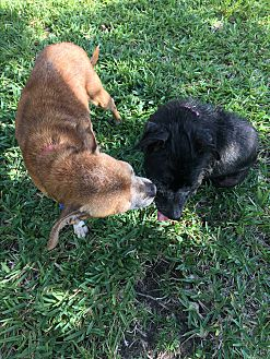Adopt A Pet :: Two little seniors!!  - Ft Myers Beach, FL
