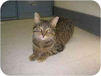 Domestic Shorthair Cat for adoption in Milwaukee, Wisconsin - Serenity