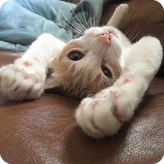 Domestic Shorthair Kitten for adoption in Chino Hills, California - Dumpling (a purry shadow!)