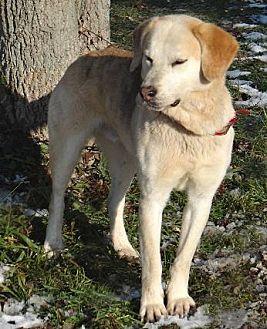 Labrador Retriever/Husky Mix Dog for adoption in Stockport, Ohio - Joshua