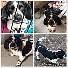 Adopt A Pet :: Ozzie