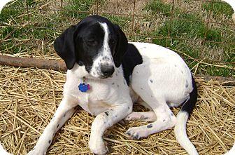Salem Nh Treeing Walker Coonhound Meet Puppy Jordan A Pet For