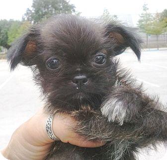 Orlando Fl Shih Tzu Meet Ramos1m A Pet For Adoption