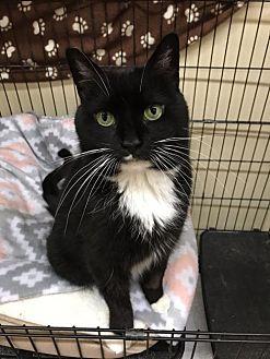 Adopt A Pet :: Mittens  - Blasdell, NY