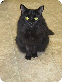 Domestic Longhair Cat for adoption in Toledo, Ohio - Missy