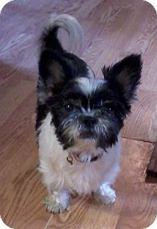 Houston Tx Shih Tzu Meet Gizmo A Pet For Adoption