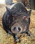Adopt a Pet :: Daisy - Bruce Township, MI -  Pig (Potbellied)