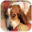 Photo 1 - Beagle Dog for adoption in Phoenix, Arizona - Augustus