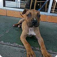 Adopt A Pet :: Macho - West Hills, CA