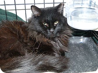 Maine Coon Cat for adoption in Stafford, Virginia - Knight