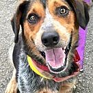 Adopt A Pet :: Blue *Adopt or Foster*