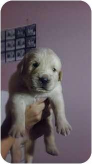 Pembroke pInes, FL - Labrador Retriever. Meet lab puppies a Dog for Adoption.