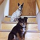 Adopt A Pet :: Dixie and Marlie