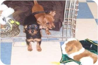 Terre Haute In Dachshund Meet Hansel Gretel A Pet For Adoption