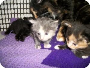 Calico Kitten for adoption in Santa Monica, California - Zoe