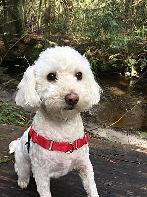 Bellingham Wa Miniature Poodle Meet Kevin A Pet For Adoption