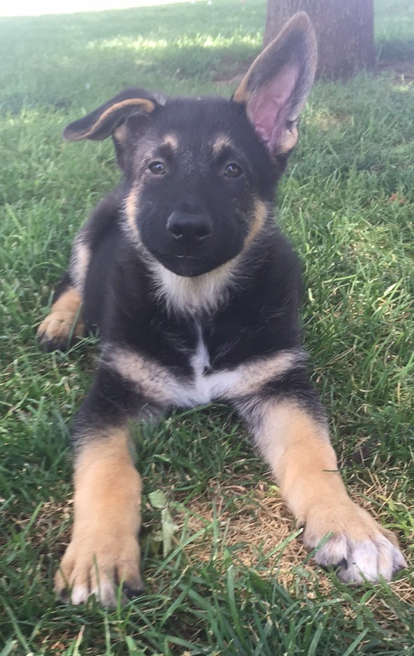 Davis Ca German Shepherd Dog Meet Maui A Pet For Adoption