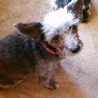 Adopt A Pet :: Roxie (Yorkie) - Whitestone, NY