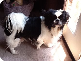 Warren Mi Japanese Chin Meet Shatzi A Pet For Adoption