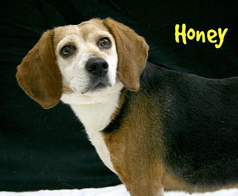 Melbourne Ky Beagle Meet Honey A Pet For Adoption