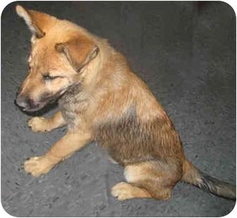 Shepherd (Unknown Type)/Belgian Malinois Mix Puppy for adoption in Poway, California - Elmo & Grover
