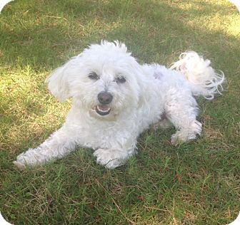 Birmingham, AL - Bichon Frise  Meet Frankie a Pet for Adoption