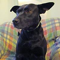 Adopt A Pet :: Pepper - Melbourne, AR